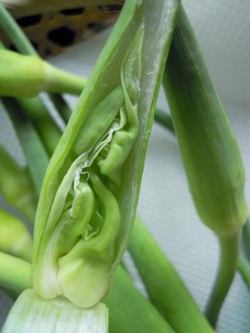 にんにくの芽2.jpg