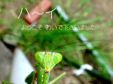 カマキリ2.jpg