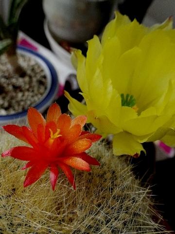 サボテン花.jpg
