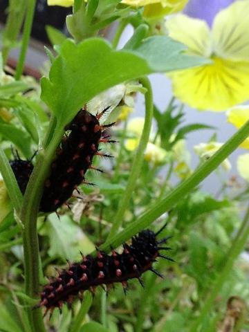ツマグロ幼虫.jpg