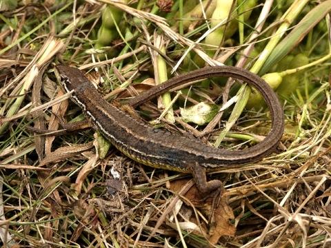 ニホンカナヘビ1.jpg