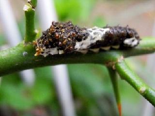 幼虫黒1.jpg
