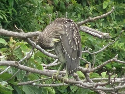 幼鳥2.jpg