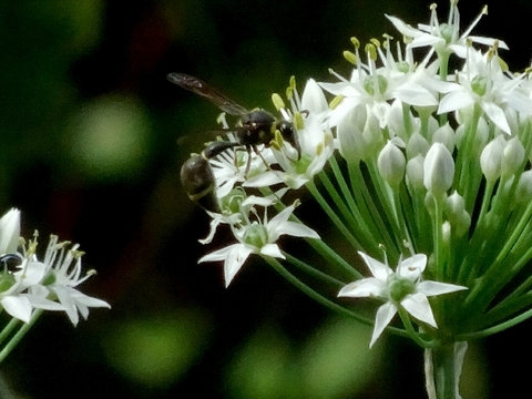 蜂セグロアシナガバチ.jpg