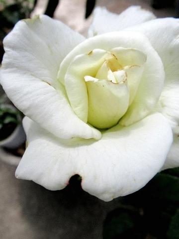 サチ2番花.jpg