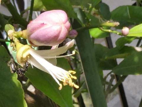 蟻花粉.jpg