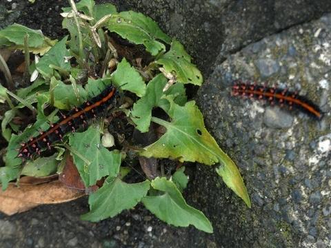 P1090772ツマグロ幼虫.JPG